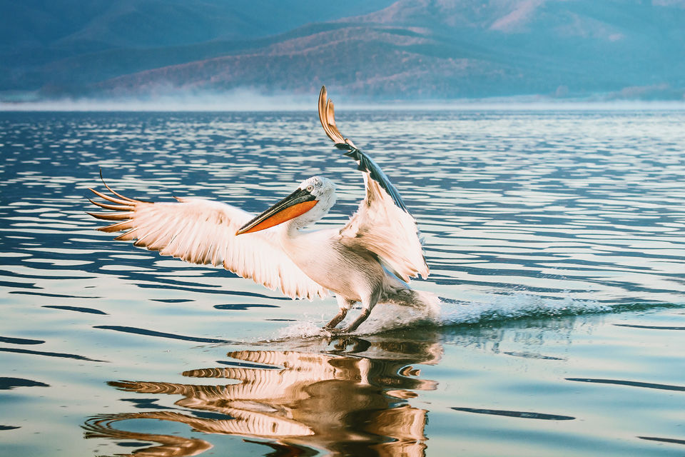 A bird landing on the glassy surface of Lake Kerkini