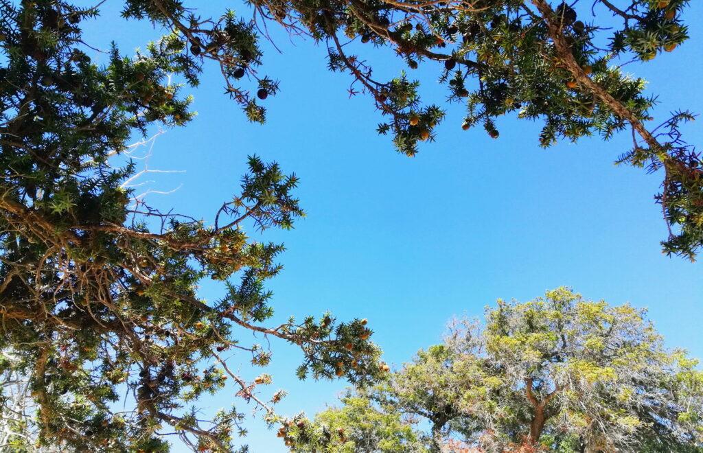 The trees of Kedrodassos beach, Chania